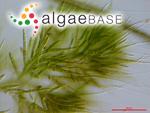 Draparnaldia plumosa (Vaucher) C.Agardh