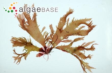 Calliblepharis ciliata (Hudson) Kützing
