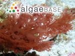 Platoma cyclocolpum (Montagne) F.Schmitz