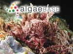 Wrangelia penicillata (C.Agardh) C.Agardh