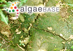 Ulva granulata Linnaeus