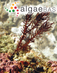 Halopithys subopaca (Simons) L.E.Phillips & De Clerck