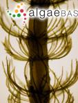 Cladostephus spongiosum (Hudson) C.Agardh