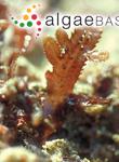 Osmundaria melvillii (J.Agardh) R.E.Norris
