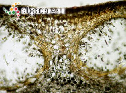 Halidrys siliquosa (Linnaeus) Lyngbye