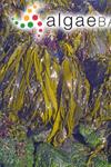 Fucus antarcticus Chamisso