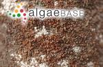Trentepohlia lagenifera (Hildebrand) Wille
