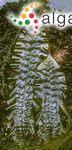 Ulva latissima Linnaeus