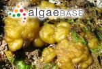 Leathesia marina (Lyngbye) Decaisne