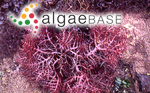 Eucheuma serra (J.Agardh) J.Agardh