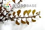 Sargassum hemiphyllum (Turner) C.Agardh