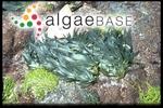 Codium platylobium Areschoug
