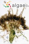 Pilocladus codicola (Setchell & N.L.Gardner) Ardré