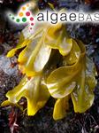 Fucus distichus Linnaeus