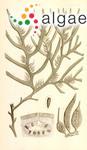 Fucus dorycarpus Turner