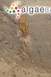 Hafgygia longicruris (De la Pyl.) Aresch.