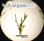 Cladophora conchopheria Sakai