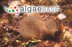 Kallymenia cribrosa Harvey