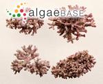 Spongites fasciculata (Lamarck) Kützing