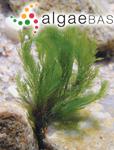 Cladophora ordinata (Børgesen) C.Hoek
