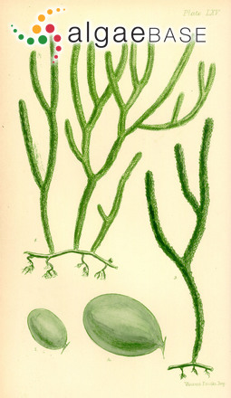 Caulerpa simpliciuscula (R.Brown ex Turner) C.Agardh