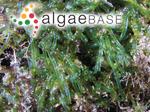 Valoniopsis pachynema (G.Martens) Børgesen
