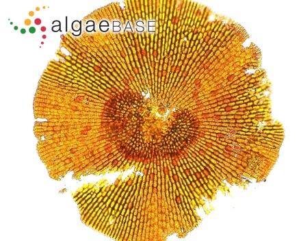 Phycopeltis arundinacea (Montagne) De Toni