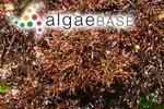 Ahnfeltiopsis pygmaea (J.Agardh) P.C.Silva & DeCew