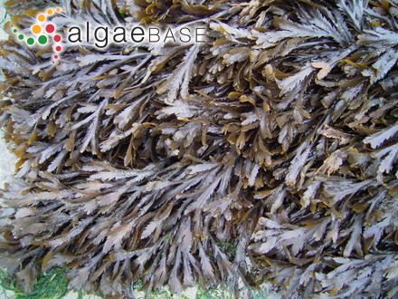 Halymenia angusta (J.Agardh) De Toni