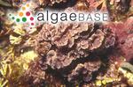 Melobesia flabellata Sonder