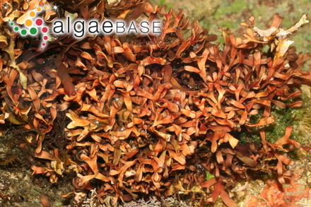 Gloiocladia atlantica (Searles) R.E.Norris