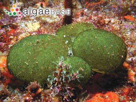 Callithamnion apiculatum P.Crouan & H.Crouan