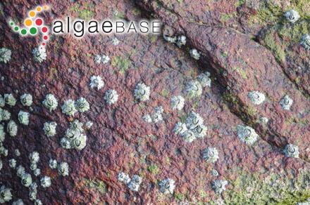 Ceramium diaphanum f. strictoides H.E.Petersen