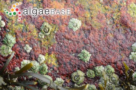 Crouania pleonospora W.R.Taylor
