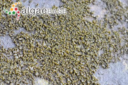 Haloplegma duperreyi subsp. spinulosum M.Howe