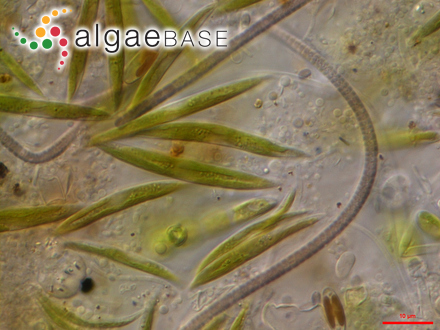 Frikkiella pseudoprostrata (Ballantine & M.J.Wynne) M.J.Wynne & C.W.Schneider