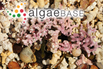 Spongites corallioides P.Crouan & H.Crouan
