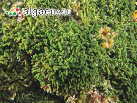 Laurencia iridescens M.J.Wynne & D.L.Ballantine