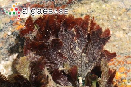 Meridiocolax polysiphoniae (E.C.Oliveira & Ugadim) J.Morrill