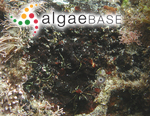 Ralfsia expansa (J.Agardh) J.Agardh