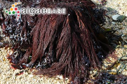 Polysiphonia havanensis f. mucosa J.Agardh