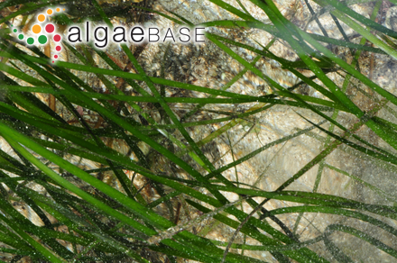 Wrightiella blodgettii (Harvey) F.Schmitz