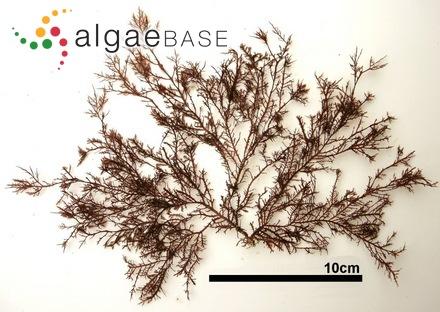 Dictyota pinnatifida Kützing