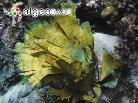 Cystoseira myrica (S.G.Gmelin) C.Agardh