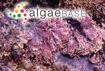Arthrocardia aberrans (Yendo) Weber Bosse