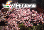 Marginisporum crassissimum (Yendo) Ganesan