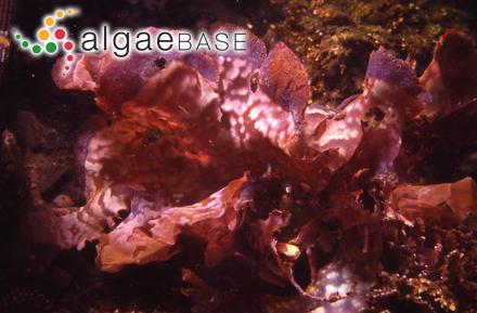 Sargassum filipendula var. montagnei (Bailey) Grunow