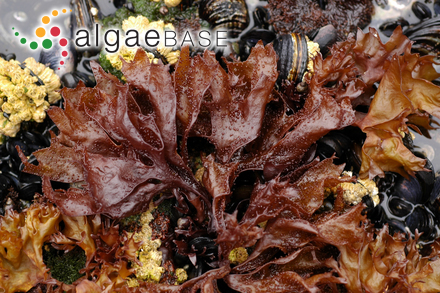 Sargassum hystrix var. spinulosum (Kützing) Grunow