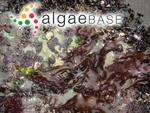 Mazzaella membranacea (J.Agardh) Fredericq