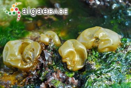 Cladophora blomquistii Hoek